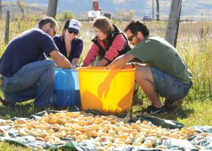 Colorado Mountain College students, from left, Brent Bessey, Maggie Tucci, Kelsie Buccino and Brett Somen Tuesday morning clean potatoes that recently were harvested at the Legacy Ranch. The potatoes will be part of the Yampatika Garden-to-Table dinner at 5:30 p.m. Thursday at Legacy Ranch. Tickets are $75 and include beer and wine.